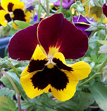 Pansy_Flower